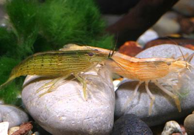 Bamboo Shrimpmp