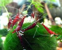 Caridina Cardinal Shrimp