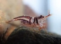 Creveti Arlechin Harlequin Shrimp