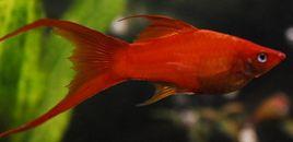 Xiphophorus Helleri
