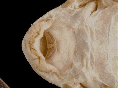 Ancistrus Cirrhosus