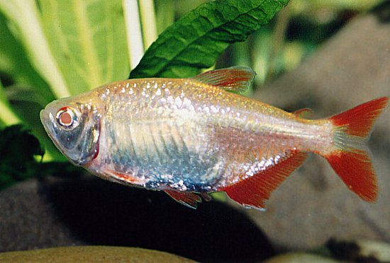Hypessobrycon Anisitsi