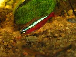 Paracheirodon Axelrodi - Cardinal Tetra