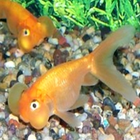 buble eye goldfish